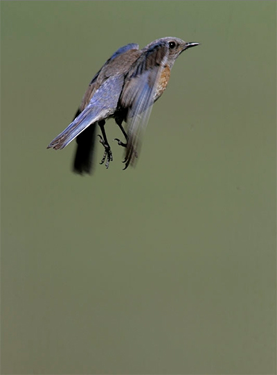 Image of a Mountain Bluebird in flight by Andy Long.