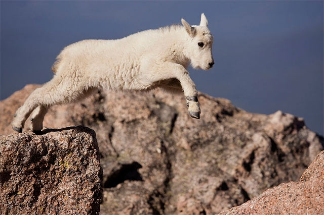 Photo of a baby Mountain Goat jumping by Andy Long.