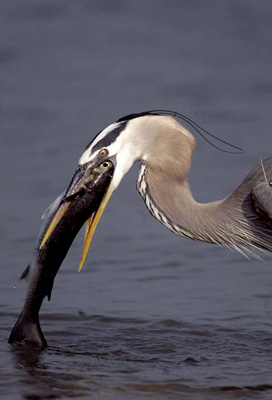 Great Blue Heron catching fish photo by Andy Long