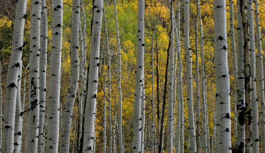 Aspen trees in Fall photo by Andy Long