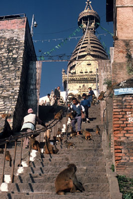 Photos of monkeys at Pashupatinath Holy Site, Nepal by Ron Veto