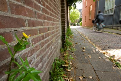 Biodiversity: photo of flower against a walll in the city of Breda, Netherlands by Edwin Brosens