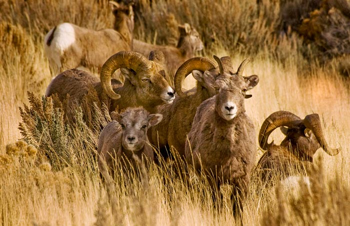 Photo of bighorn sheep family by Robert Hitchman