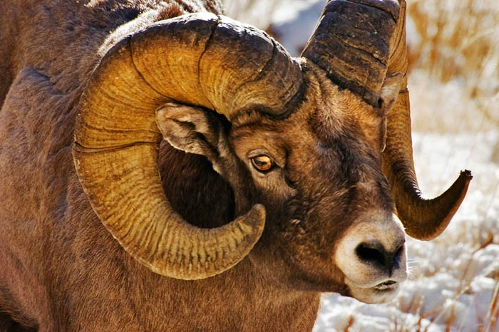 Close-up photo of mature Rocky Mountain Bighorn ram in Wyoming by Robert Hitchman