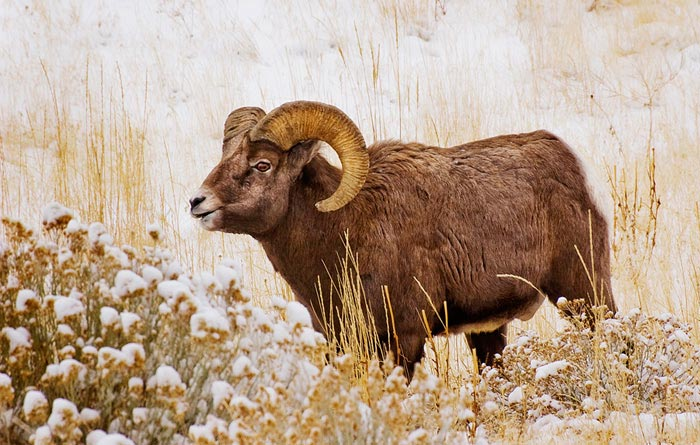 Photo of South Fork bighorn sheep ram by Robert Hitchman