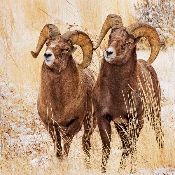 Photo of two bighorn sheep rams by Robert Hitchman
