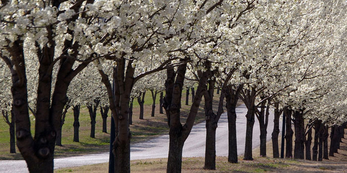 Photo of blooming trees along road in Grand Lake, Oklahoma by Mike Denson