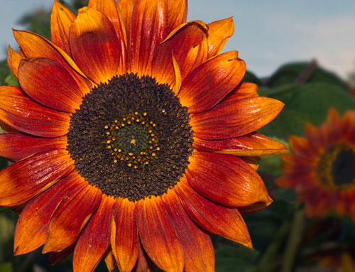 Close-up photo of a sunflower in Talkeetna, Alaska by Barry Epstein