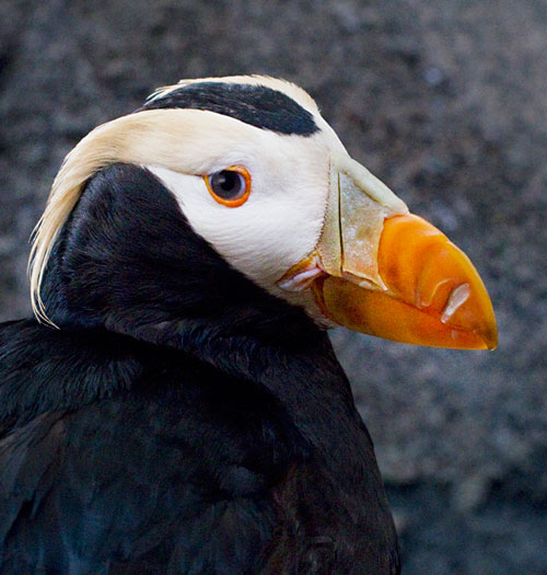 Close-up photo of Puffin in Seward, Alaska by Barry Epstein