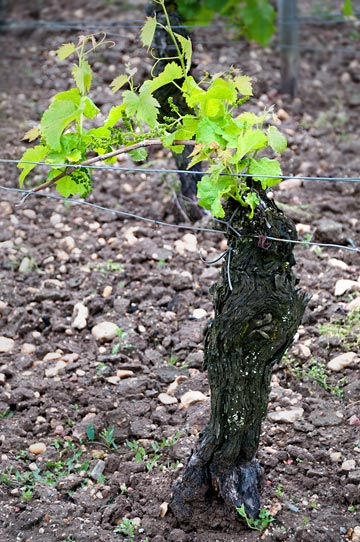 Photo of forty year old vine at Chateau Clinet in Southern France by Cliff Kolber