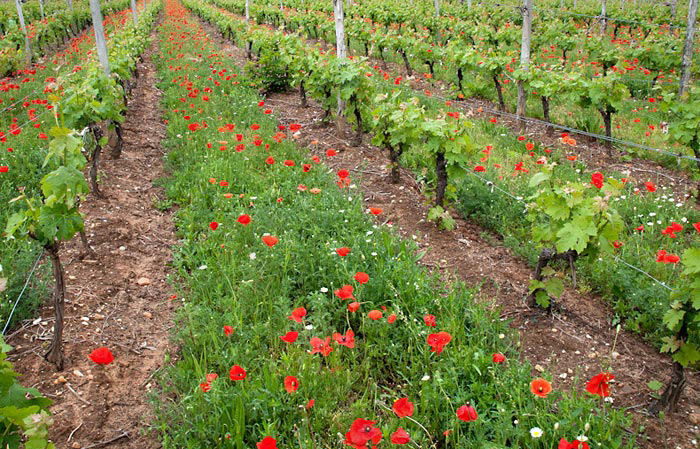 Photo of poppies and grapes vines in vineyard in Southern France by Cliff Kolber