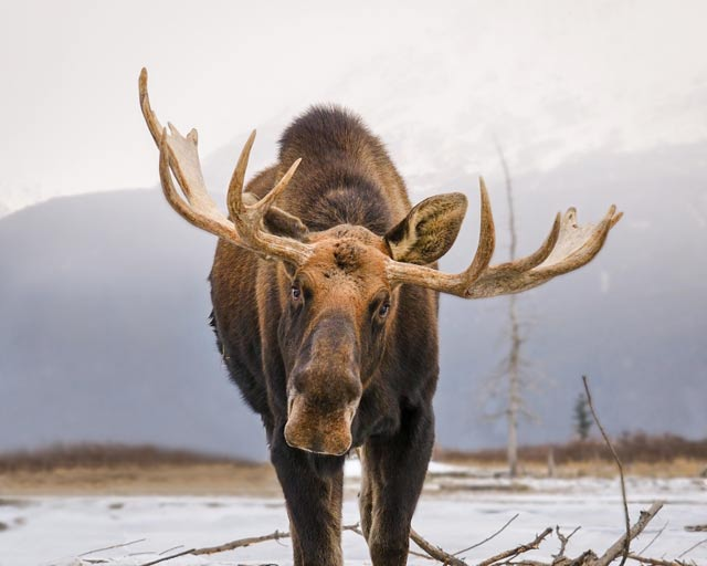 Straight on photo portrait of a male Alaskan Yukon Moose by Joseph Classen.