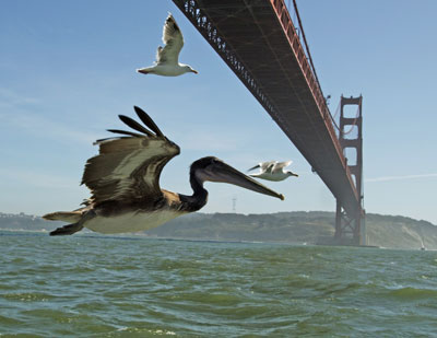 North America. Brown pelicans flying under Golden Gate Bridge, San Francisco, USA. Credit: © John Downer Productions