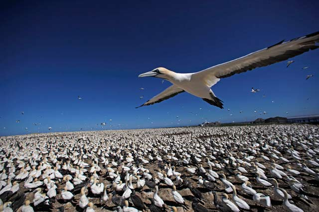 Episode Two – Africa. Cape gannet flying over gannet colony, Bird Island, South Africa. Credit: © John Downer Productions