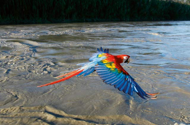 Episode Four - South America. Scarlet Macaw in flight, Manu River, Peru.