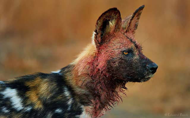 Close-up of cape running dog with bloody face at kill in the Pilanesberg, South Africa by Edward Peach.