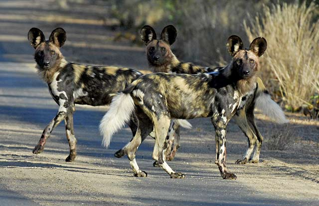 African painted dogs hunting from road near Punda Maria camp in the Kruger National Park, South Africa by Mario Fazekas.