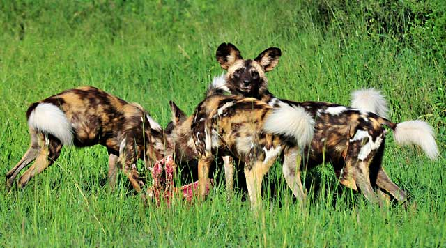 Four African wild dogs eating on prey in the green grass in the Pilanesberg, South Africa by Mario Fazekas.