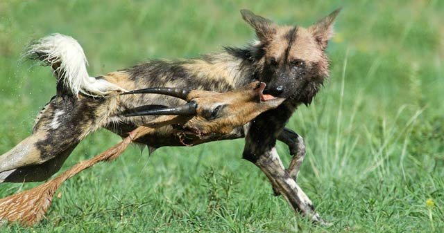 African wild dog running through green grass in Pilanesberg, South Africa with Impala head in its mouth by Mario Fazekas.