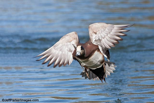 An American Widgeon taking off from water at Socorro, New Mexico by Jeff Parker.