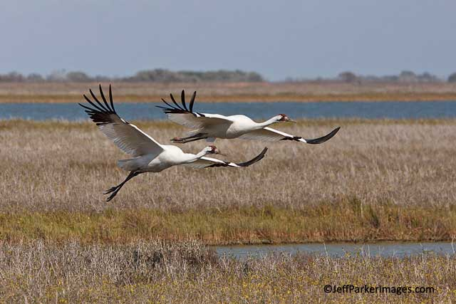 A pair of endangered Whooping Cranes flying over grasses and water at Aransas National Wildlife Refuge, Texas by Jeff Parker.