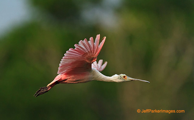 Photographing Birds in Flight: Roseate Spoonbill bird flying by Jeff Parker.