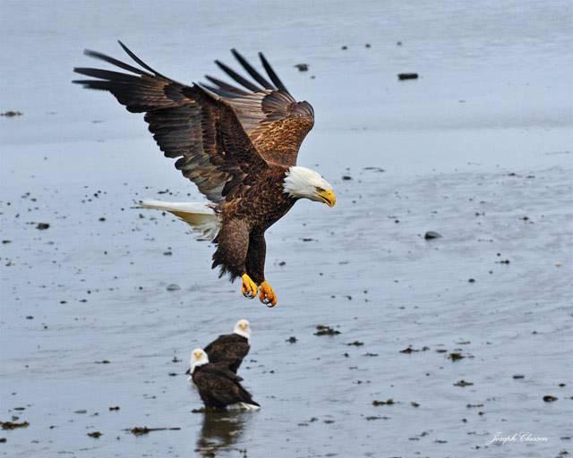 eagle-landing