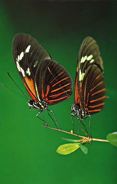 Close-up photo of two butterflies at 1:2 magnification and fill flash by Michael Lustbader.