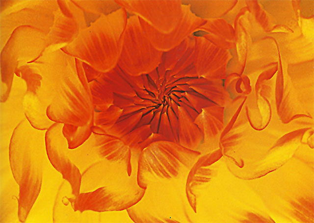 Close-up photo of a backlit orange and yellow Dahlia by Nancy Rotenberg.