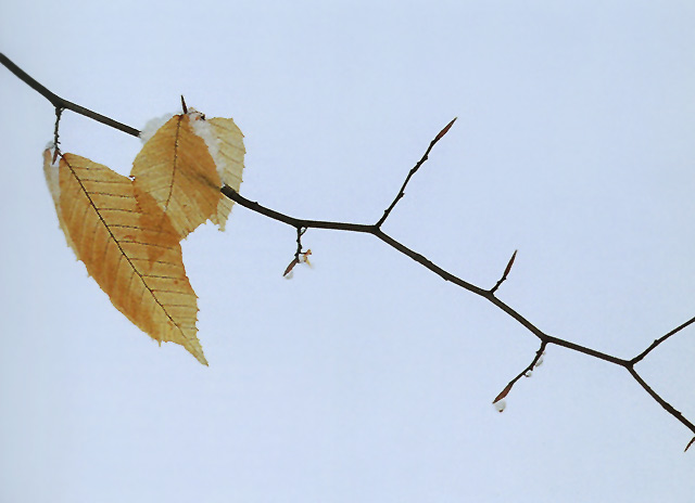 Close-up photo of 3 leaves and a branch with snow with strong diaganol lines by Nancy Rotenberg.