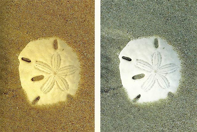 Two close-up photos of sand dollars - one without a filter and one with a warming filter by Michael Lustbader.