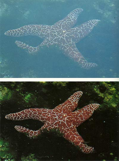 Two close-up photos of star fish - one without a filter and one with a polarizing filter used by Michael Lustbader.
