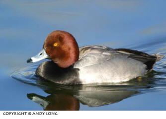 Photo design concepts: reflection of duck in water depicting a poorly cropped photo by Andy Long.