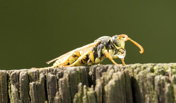 Photo of Field Wasp by Edwin Brosens