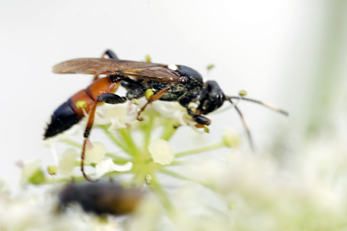 Photo of Parasitic Wasp by Edwin Brosens