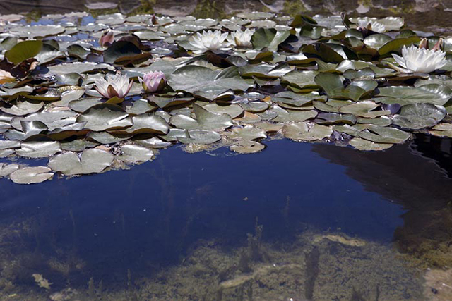 Image of lily pond with a circular polarizing filter set at minimum by Brad Sharp.