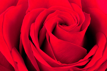 Close-up photo of red rose by Brad Sharp