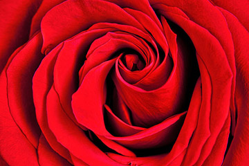Close-up photo of red rose after using Focus Stacking by Brad Sharp