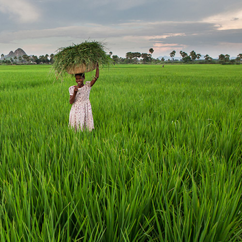 Photo of a woman carrying rice cuttings on her head in lush green field in Bodhgaya, India by Nico DeBarmore