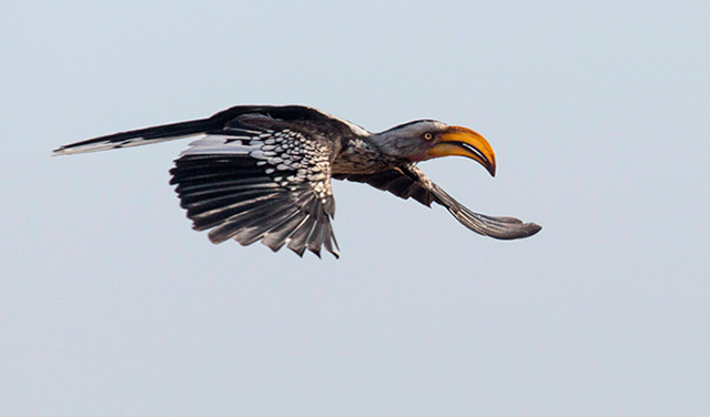 Orange, large beaked Southern Yellow-billed Hornbill bird in flight in South Africa by Noella Ballenger.