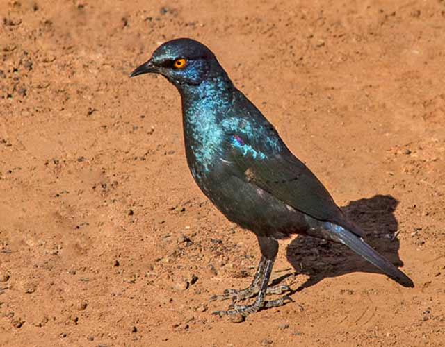 Cape Glossy Starling bird with orange eye standing on the red earth in South Africa by Noella Ballenger.