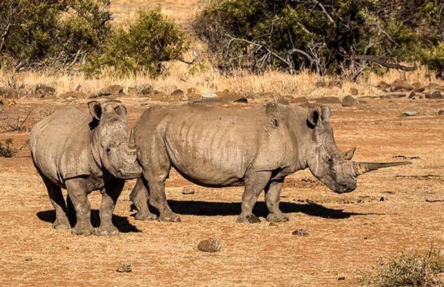 Two White Rhinoceros standing in landscape in South Africa by Noella Ballenger.