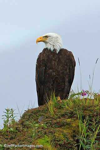 Wild raptors: A Bald Eagle sits perched next to a hill of undergrowth by Jeff Parker.