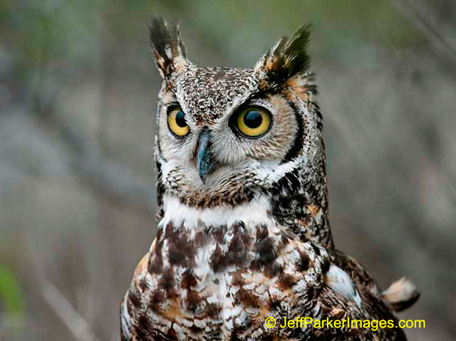 Wild raptors: A close-up portrait of a Great Horned Owl with big gold eyes by Jeff Parker.