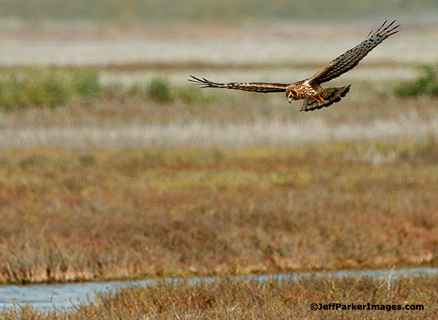 Wild raptors: A Northern Harrier with head down while flying is looking for food over a stream and field by Jeff Parker.