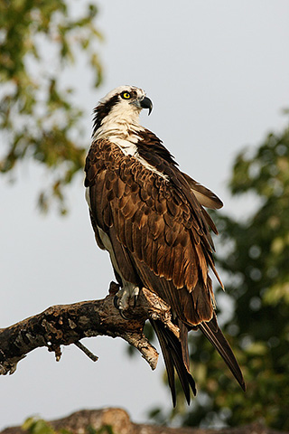 Wild raptors: A Osprey with head turned to the side is perched on a branch by Jeff Parker.