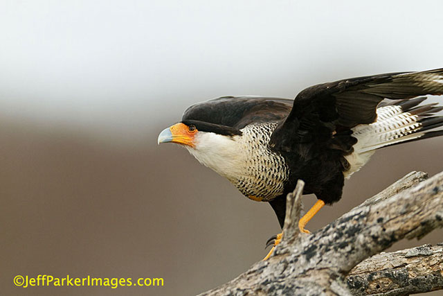 Wild raptors: A Crested Caracara is crouched on a branch getting ready to take flight by Jeff Parker.