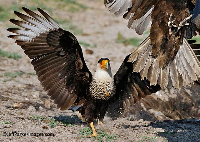 Wild raptors: A Crested Caracara with wings spread chases off a Turkey Vulture by Jeff Parker.