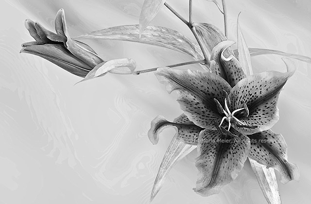 Black and white photo of Lilies with a moiré effect background by Marla Meier.