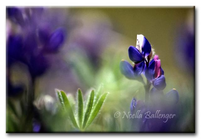 Close-up photo of Lupine by Noella Ballenger